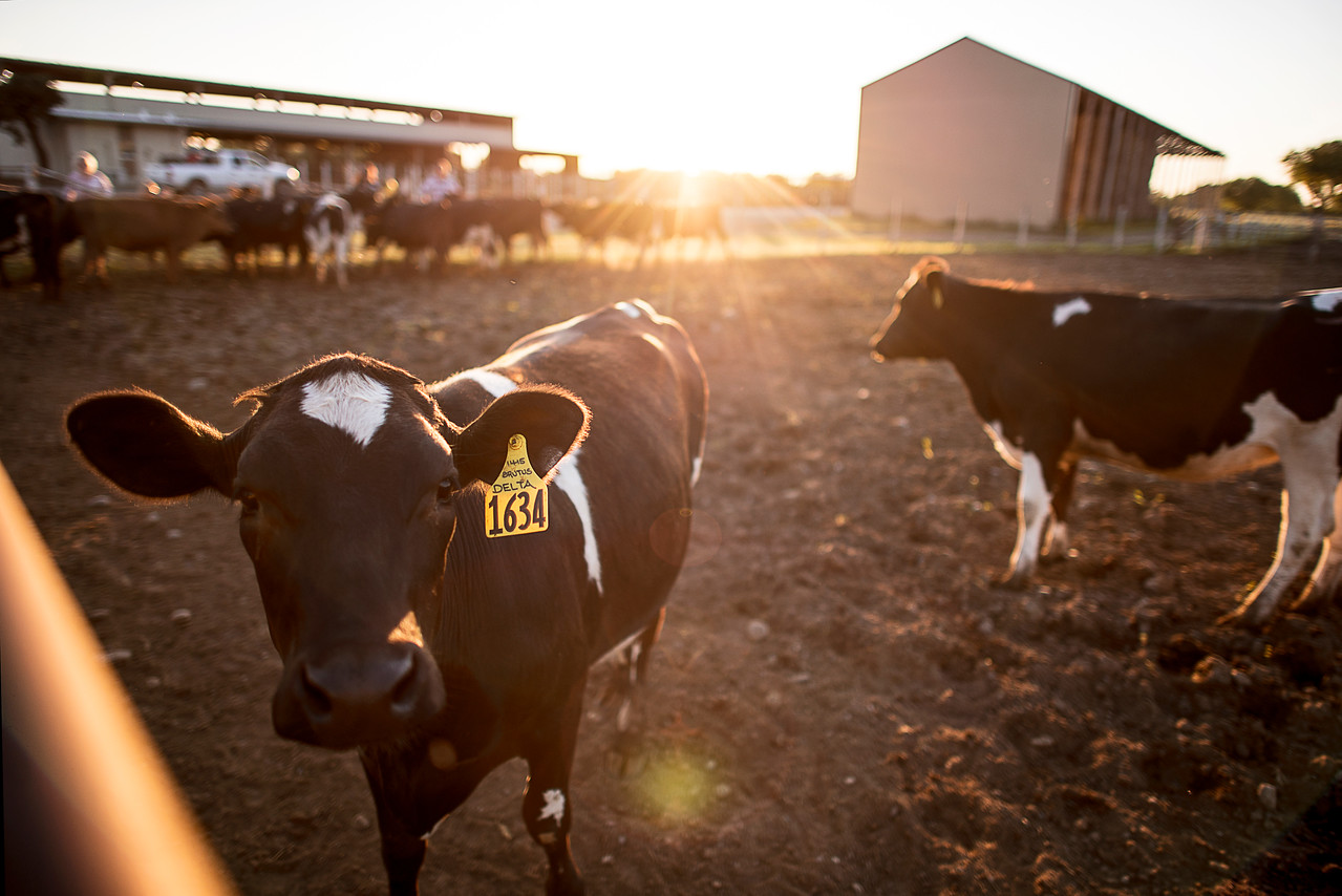 Dairy cows enjoy the sunlight at the University Farm on Thursday, April 27, 2017, in Chico, Calif.  (Jessica Bartlett/ Photographer)