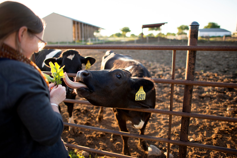 Ashley Gebb feeds grass to the dairy cows at the Alumni Spring Barbecue that is held at the University Farm on Thursday, April 27, 2017, in Chico, Calif.  (Jessica Bartlett/ Photographer)