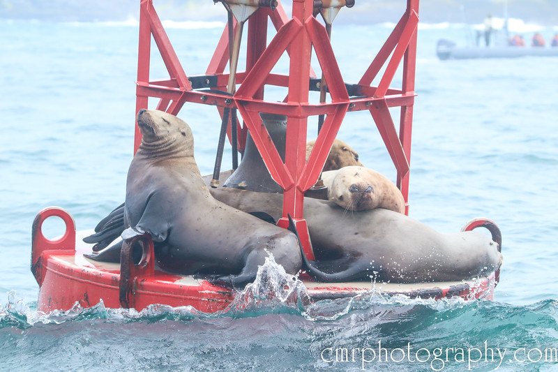 California Sea Lions - The Buoy Tenders