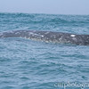 Mom California Gray Whale