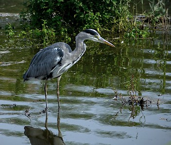 Heron in the boezems 1