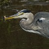 Heron with  a water slug