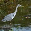 heron walking 1