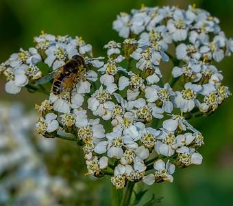 Bee on a popcorn plant pollen run