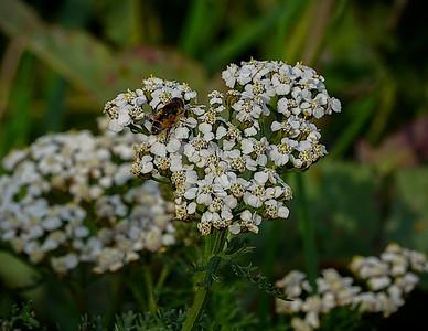 Bee on a popcorn pollen run.