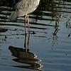 Heron watery reflection
