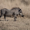 Warthog on the move