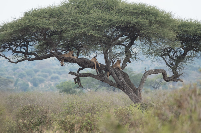 Lions! In a tree?