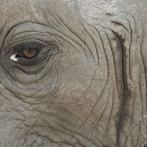 Elephant Eyes are brown!
