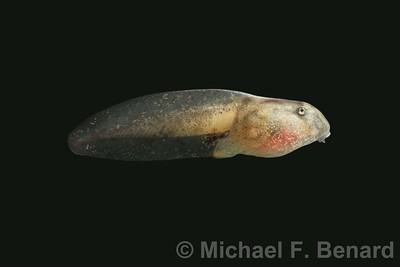 Oriental Firebellied Toad Tadpole