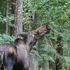 Female Moose eating from tree
