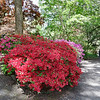 Red Azeleas among the Rhododendrons
