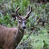 A male Black Tail Deer