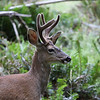 Male Black Tail Deer. He doesn't seem to mind the leaf on his nose.