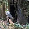 Snowy Owl at Northwest Trek