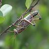 Lubber Grasshopper - Mahogany Hammock, Everglades