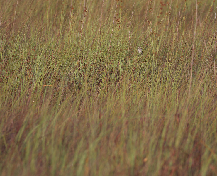 Uncropped photo of Seaside Sparrow - Mahogany Hammock, Everglades