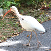 White Ibis - Bill Baggs State Park