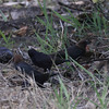 Possible Shiney Cowbird, between two Brown -headed Cowbirds - Flamingo Visitor Center, Everglades