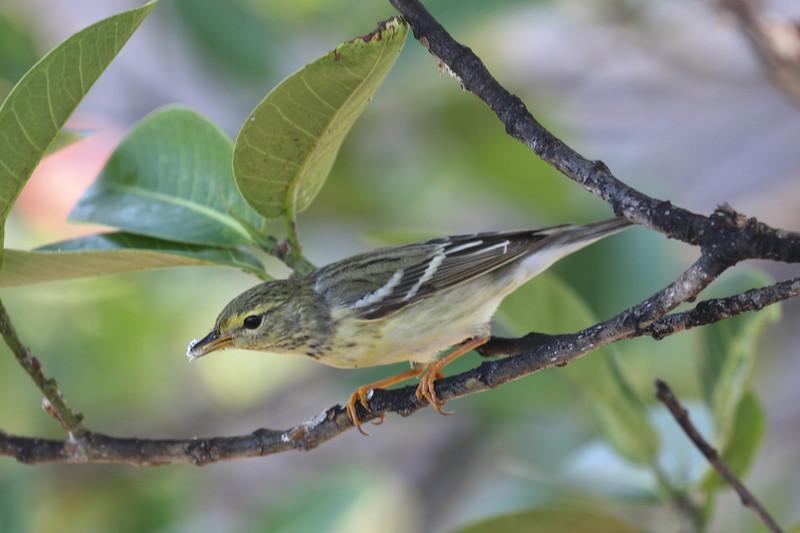 Blackpoll Warbler - Maritime Hammock Sanctuary