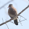 Common Ground Dove - Bill Baggs State Park