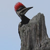 Pileated Woodpecker - Mahogany Hammock, Everglades