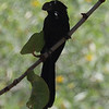Smooth-billed Ani - Biscayne National Park