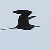 Magnificent Frigatebird - Bill Baggs State Park