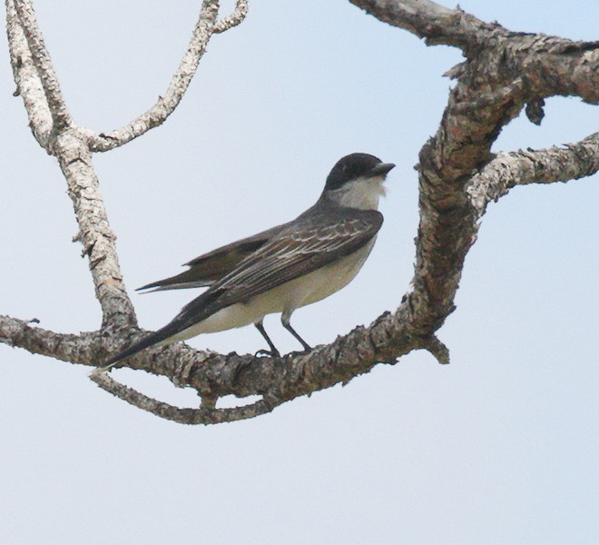 Gray Kingbird - Flamingo Visitor Center, Everglades