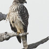 Juvenile Red-shouldered Hawk - Mahogany Hammock - Everglades