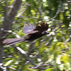 Bad flight shot of Smooth-billed Ani