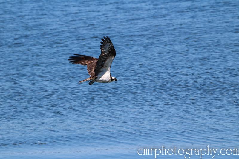 Osprey, Anacortes, WA