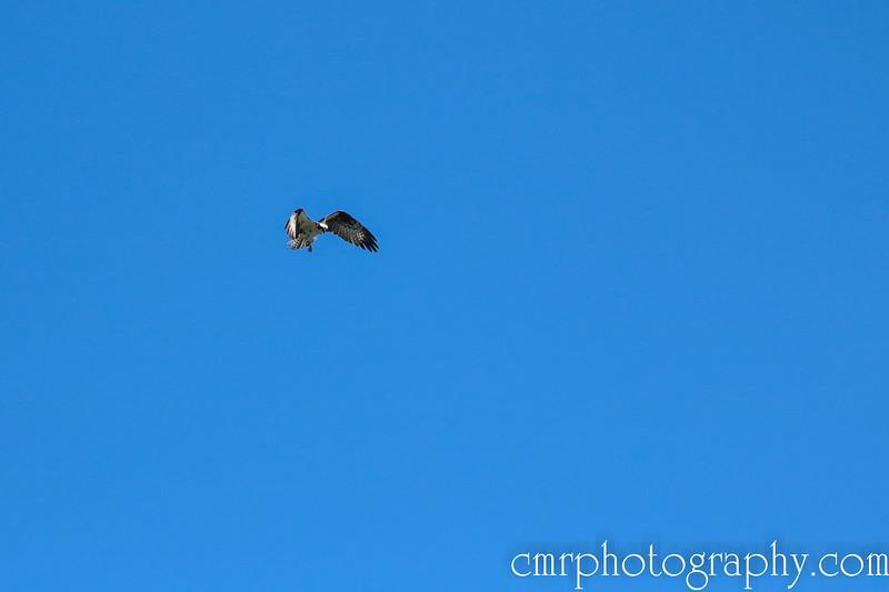 Hovering Osprey, Anacortes, WA