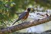 American Robin, Anacortes, WA
