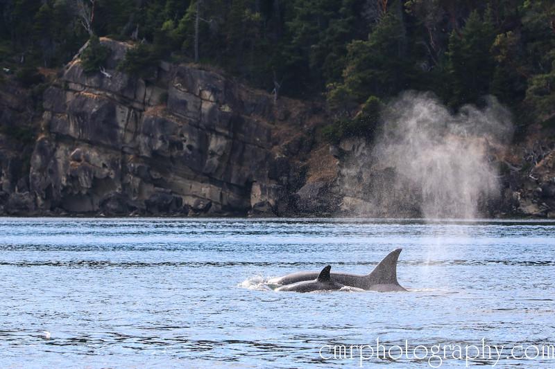 Orcas (Female with calf)