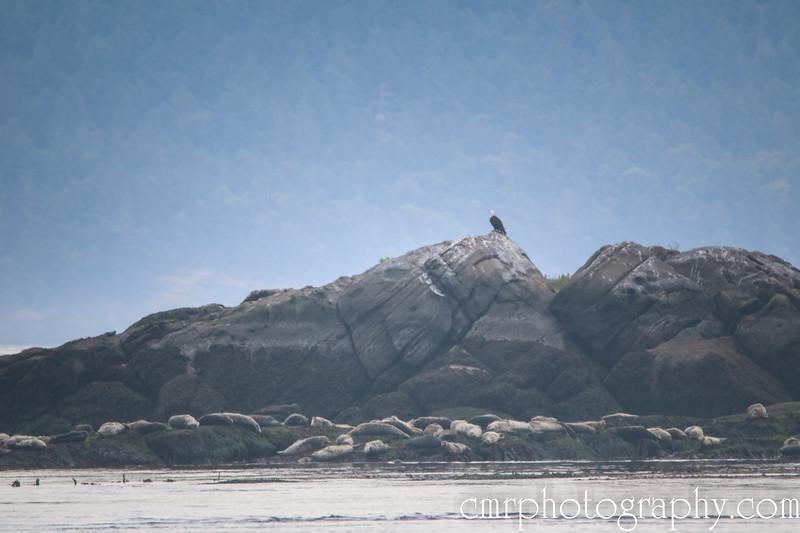 Bald Eagle and Harbor Seals
