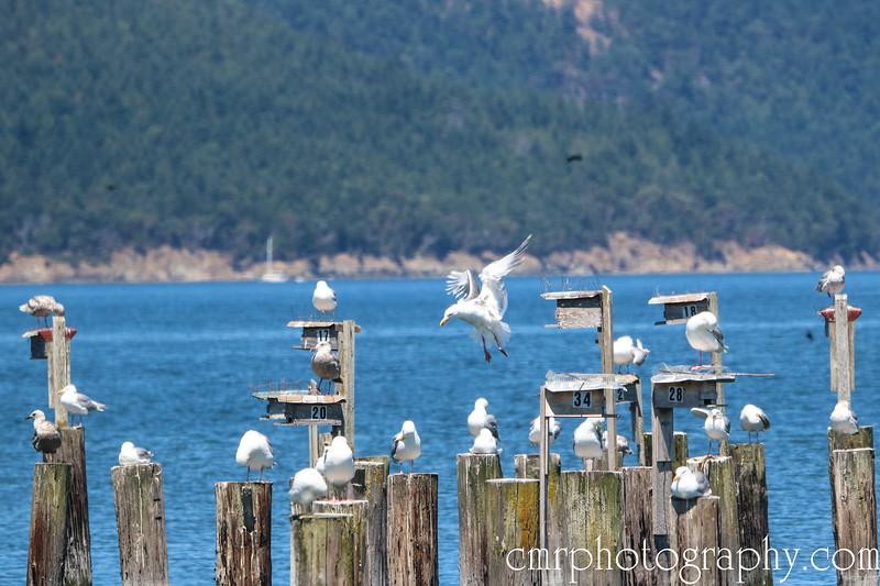 Seagulls, Anacortes, WA