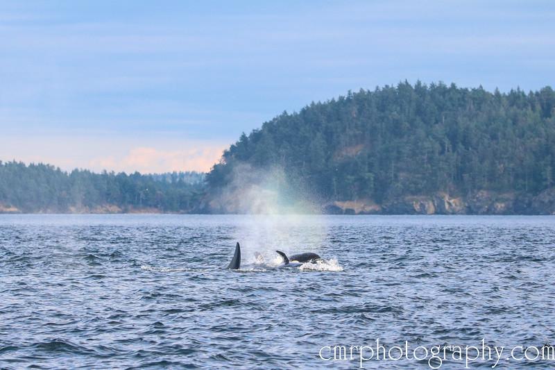 Rainbow Orcas