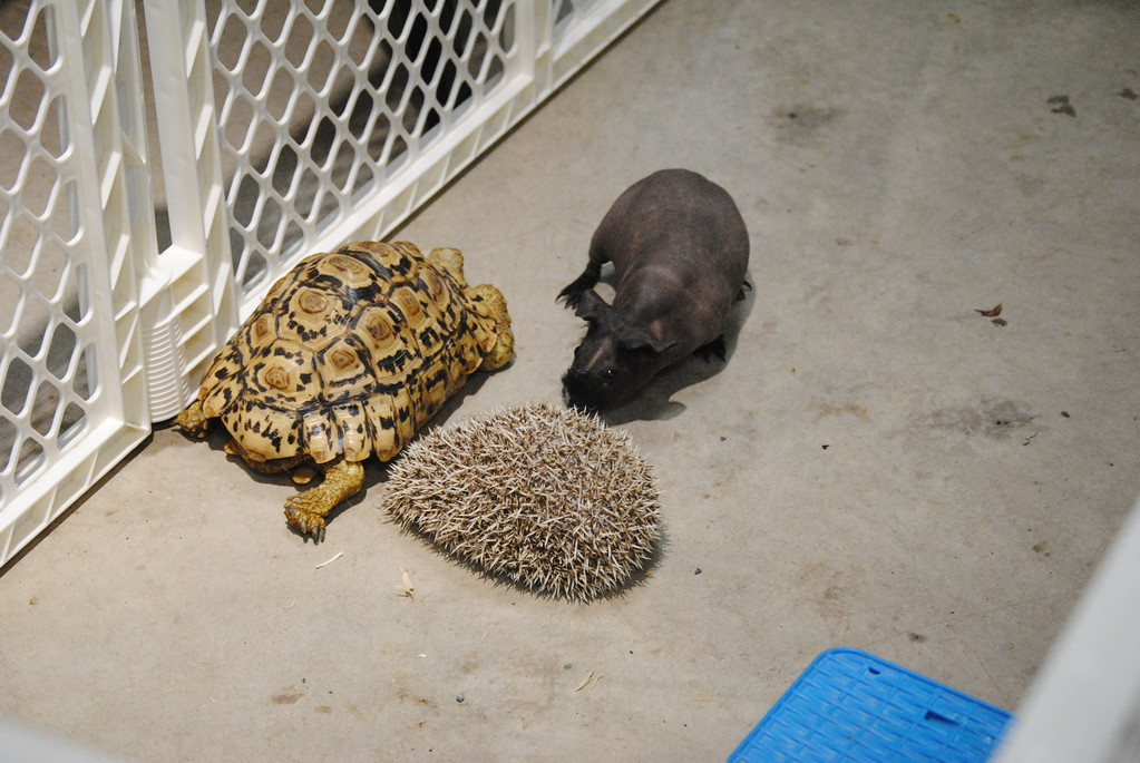 . Leah McDonald - Oneida Daily Dispatch Big Mac the tortoise, Mr. Prickles the porcupine, and Ozzy the skinny pig play in a pen at the Winter Hibernation Festival at the Great Swamp Conservancy in Canastota, N.Y., on Saturday, Feb. 11, 2017.  Out of the Cage Wildlife Rescue offered a hands-on look at several animals during the event.