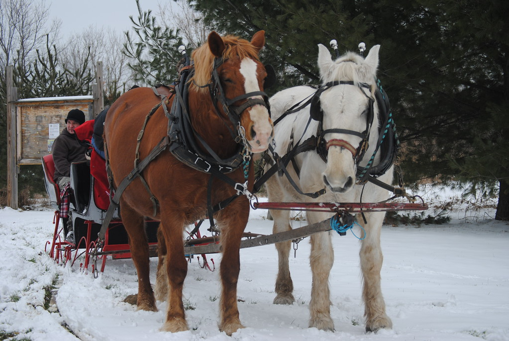 . Leah McDonald - Oneida Daily Dispatch Horse-drawn sleigh rides at the Winter Hibernation Festival at the Great Swamp Conservancy in Canastota, N.Y., on Saturday, Feb. 11, 2017.