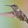 Ruby-throated Hummingbird (F) DSC_2242 May 22 2017