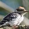 Downey Woodpecker (M) DSC_5752 July 30 2017