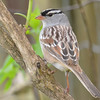 White-crowned Sparrow DSC_1485 May 12 2017