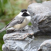DSC_1335 Black-capped Chickadee Apr 30 2017