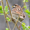 DSC_1372 White-throated Sparrow Apr 30 2017