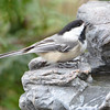 DSC_1336 Black-capped Chickadee Apr 30 2017