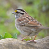DSC_1340 White-throated Sparrow Apr 30 2017