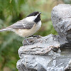 DSC_1332 Black-capped Chickadee Apr 30 2017