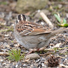 DSC_1339 White-throated Sparrow Apr 30 2017