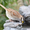 DSC_1371 White-throated Sparrow Apr 30 2017